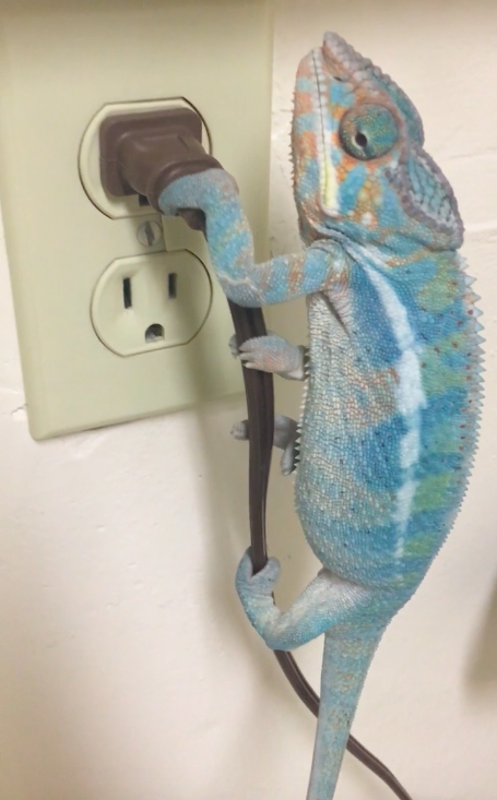 My pet panther chameleon is like Spiderman - 2076916